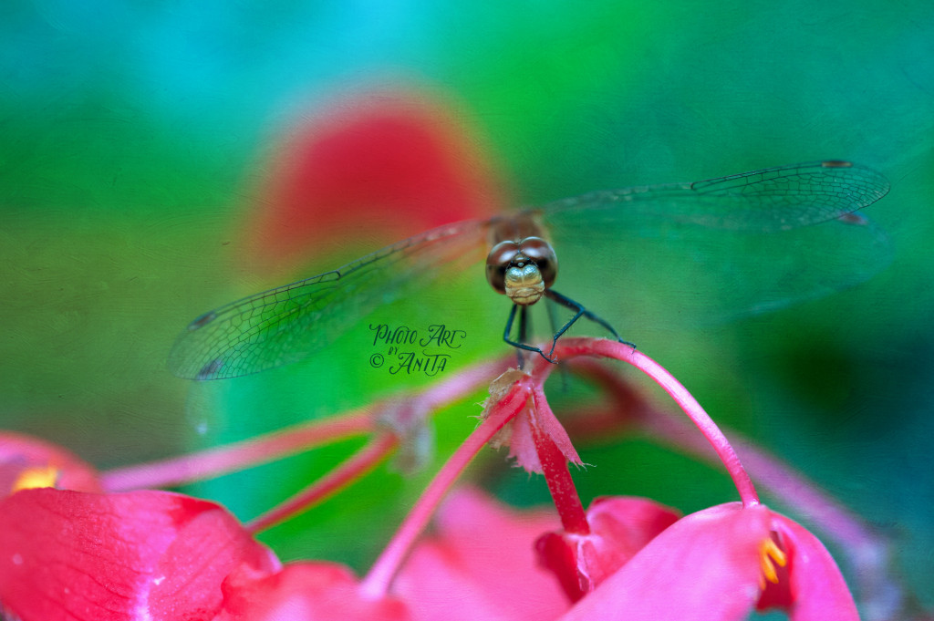 Dragonfly in our Yard