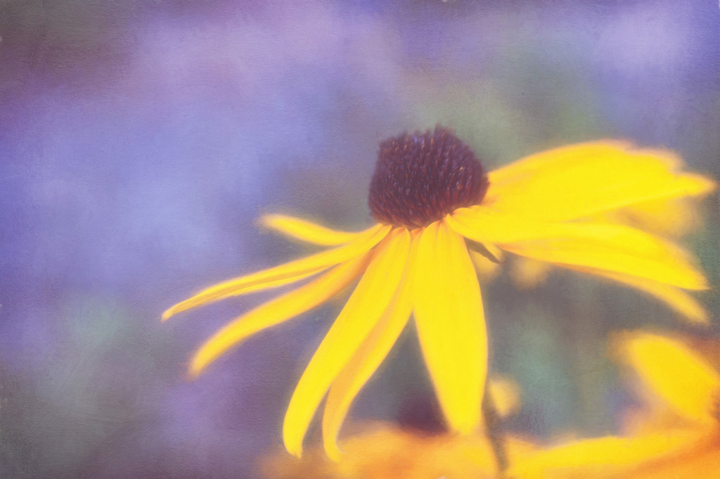Painted Black-Eyed Susan