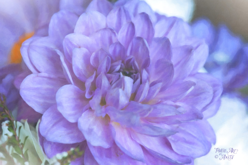 Magnificent Purple Dahlia